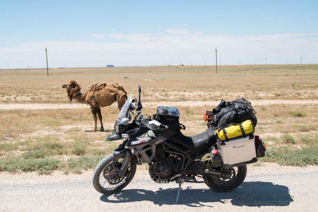 Camel Uzbekistan