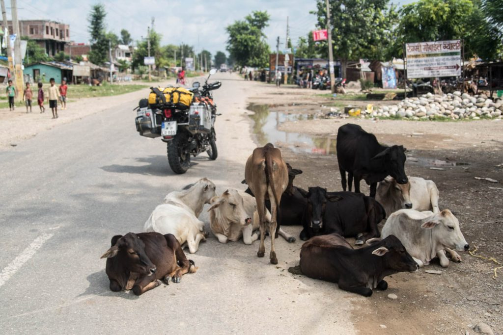 Some holy cows in a small town in the south of Nepal.